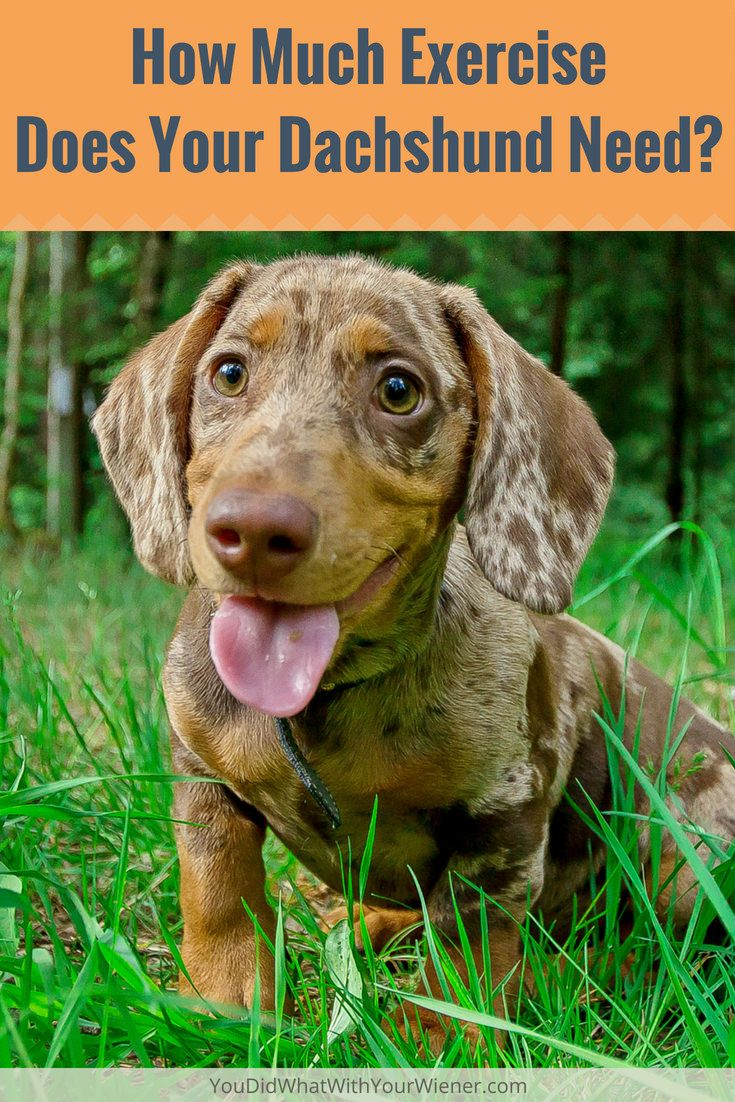 How Much Exercise Does A Miniature Dachshund Need Dachshund