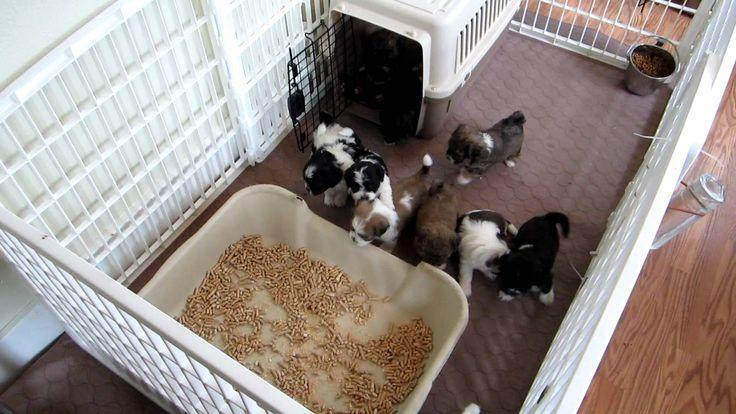 LillyBits - Puppies Graduate to Intermediate Litter Box Training!