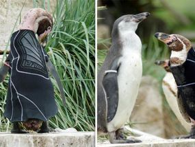 BRITAIN'S best-loved penguin famed of his penchant for designer waterproof clothing has died at the grand age of 19. The cute flightless bird became an international superstar when he was fitted with a bespoke wetsuit to protect him from the elements.