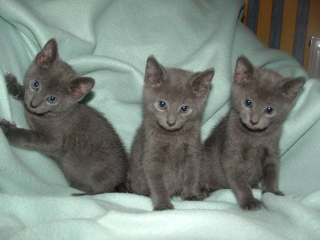 russian kittens for sale