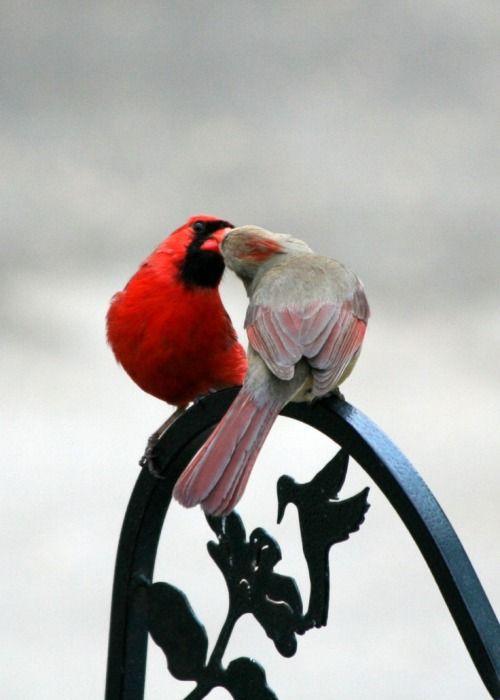 Cardinal kiss...⭐...