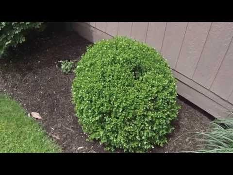 HOW TO: Shape a Boxwood shrub