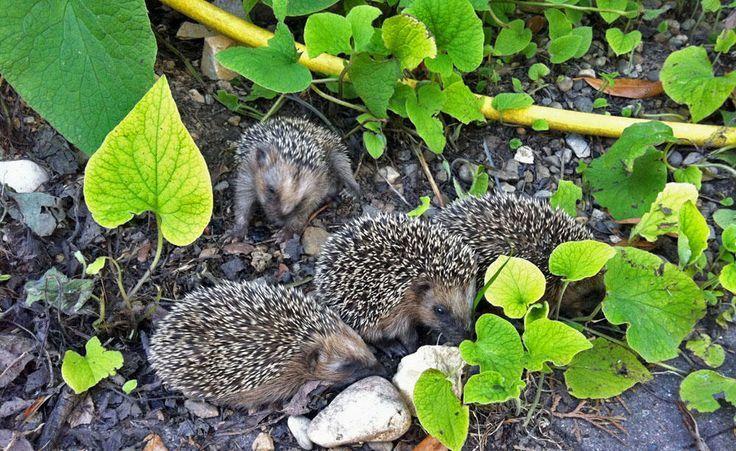 Young Hedgehogs Are Looking Forward To Some Human Support In July Tiere Hedgehogs Human July Sup Igel Im Garten Schattenpflanzen Krautergarten Design
