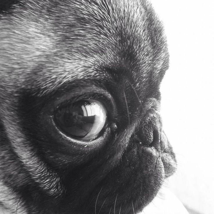 Pug close up -- oh the cuteness.AHHH