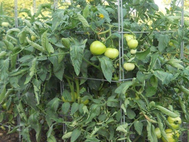 tomates en cage