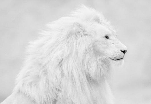 PeacefulBig Cat, Wild, White Lions, Nature, Animal Kingdom, Beautiful White, Creatures, Albino Lion, Whitelion