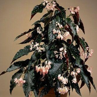 Begonia 'Good 'N Plenty' (Begonia fibrous hybrid)