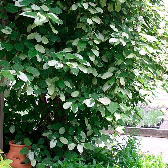how to grow kiwi vines