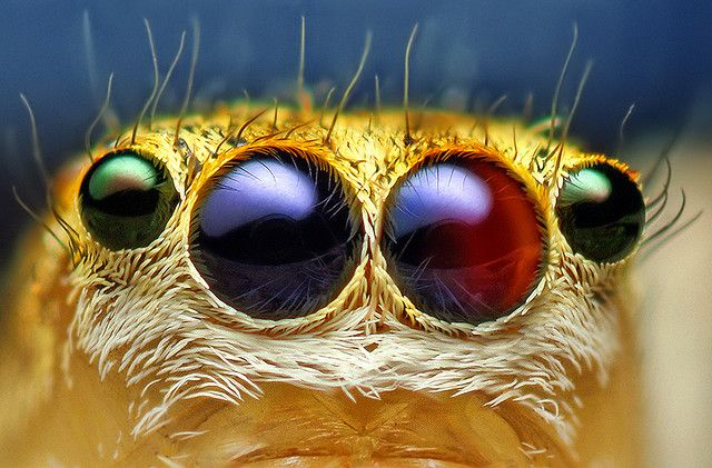 Eyes of a Female Jumping Spider by Thomas Shahan: Equally amazing are the spider's eyes and the unbelievable shot of a 5mm Maevia Inclemens found in a light fixture on the photographer's back porch. #Thomas_Shahan #Photography #Jumping_Spider