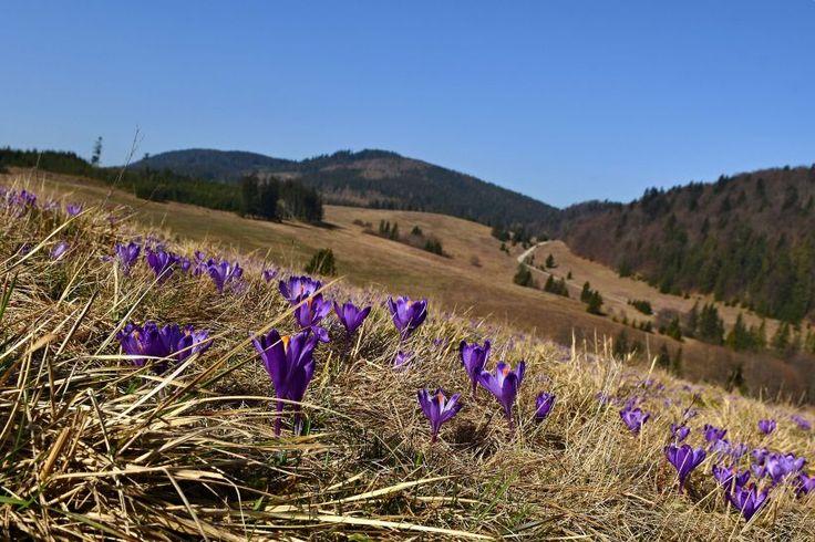 V Slovenskom raji kvitnú koberce šafranov. Pozrite si jarnú prírodu | Spravodajstvo | roznava.korzar.sme.sk