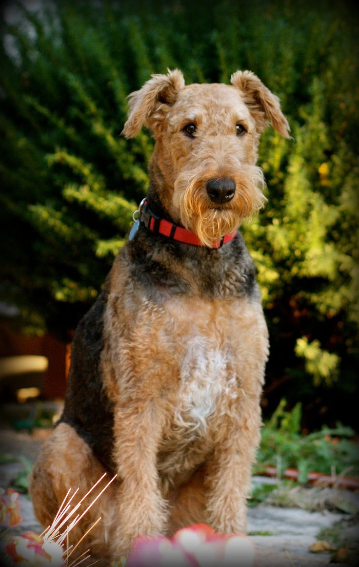 Standard Airedale Terrier Curated by Noah's Ark Mobile