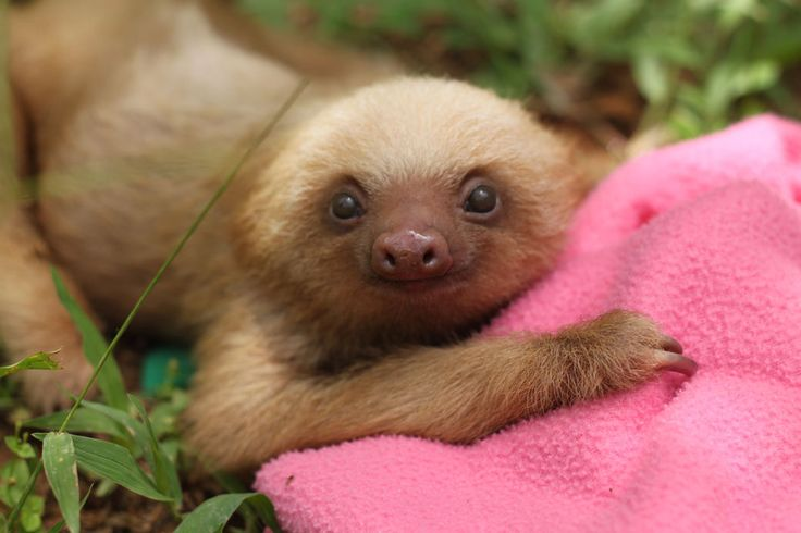 The Sloth Institute Adopt A Sloth in Costa Rica with the Sloth Institute