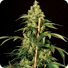 Jack Herer - strain - Bulldog Seeds | Cannapedia
