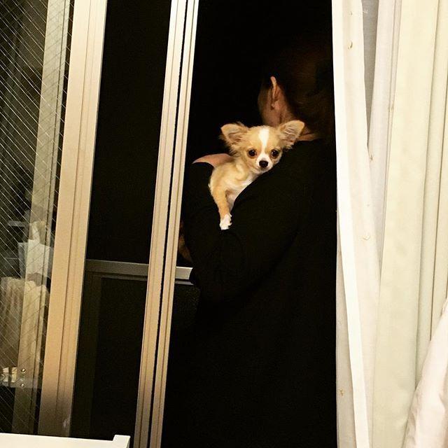 ベランダに連れていかれて少し怯えてる😂❤️ #チワワ #チワワ大好き #チワワ部 #チワワ大好き部 #チワワラブ #チワワバカ #チワワン #チワワんず #女の子 #やんちゃ #癒し犬 #癒しわんこ #癒し系 #癒し #癒やし系 #dogstagram #dog #instagood #instadog #生後5ヶ月 #愛犬