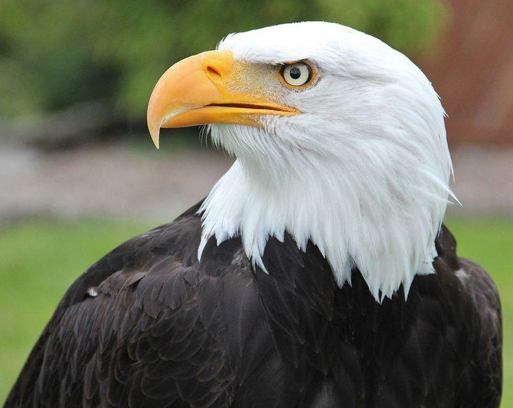 Bald Eagle, Haina De Pasăre, Raptor