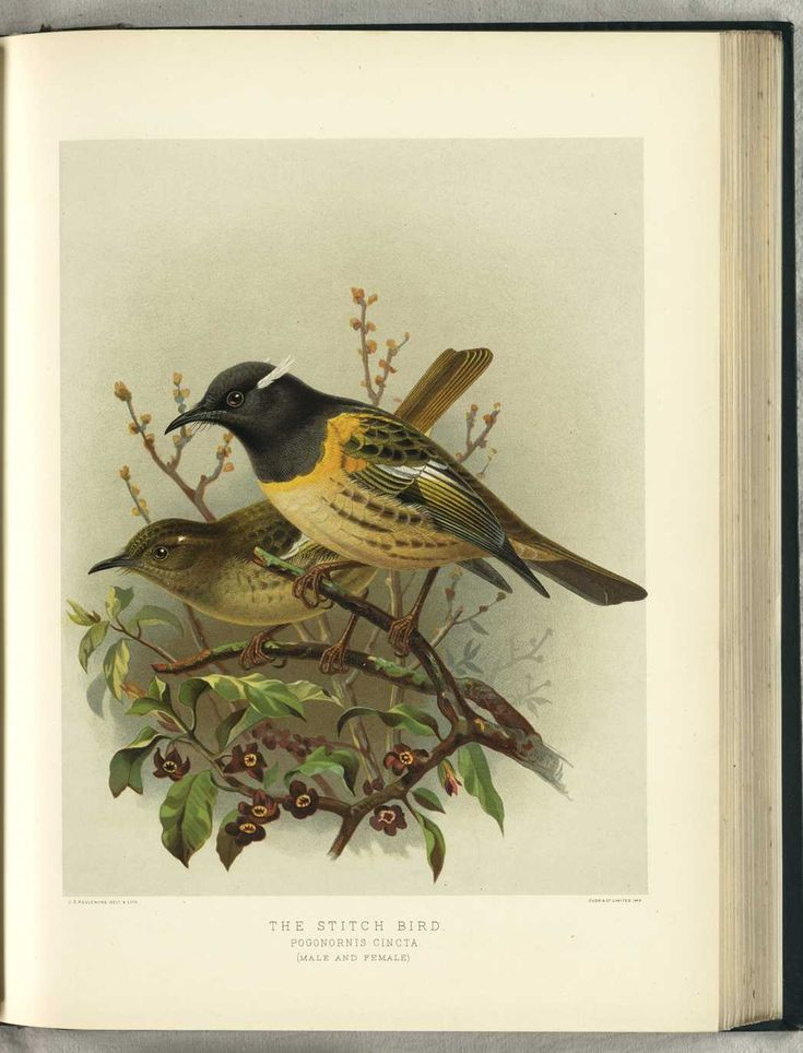 NZ Stitch Bird by JG Keulemans (from Walter Buller's 'A History of The Birds of New Zealand' - 1870's)
