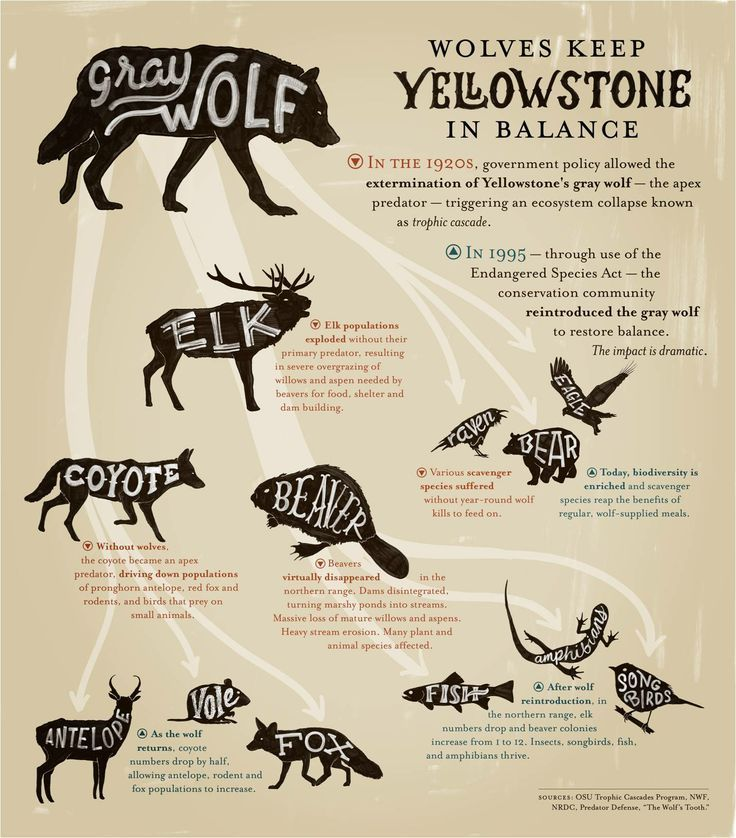 Wolves - Keystone Species Infographic. This infographic is from Earthjustice.org and is available as a high resolution pdf. http://earthjustice.org/sites/default/files/files/infographic-wolves_earthjustice.pdf