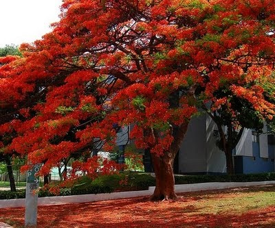 Flamboyant tree...these grow everywhere in Puerto Rico..