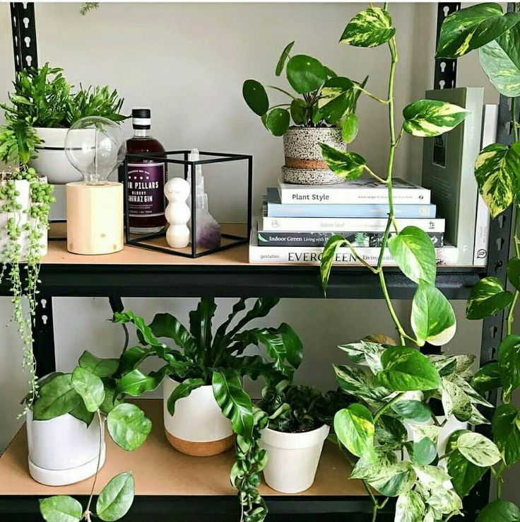 #IndoorPlants  Refreshing Indoor Plants  Indoor plants not only help clean the environment around them, but they act as a quick decorating tool. They help regulate humidity levels and add fresh oxygen to your surroundings.  #HousePlants #MoneyPlant #Gardening