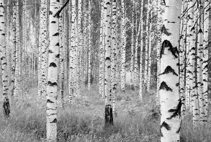 """Fototapeten und Wandtattoos von fototapete.de - hochwertig und günstig von Komar, Disney, Star Wars, Marvel, National Geographic und Melli Mello. Fototapete """"Woods"""" von Komar."""