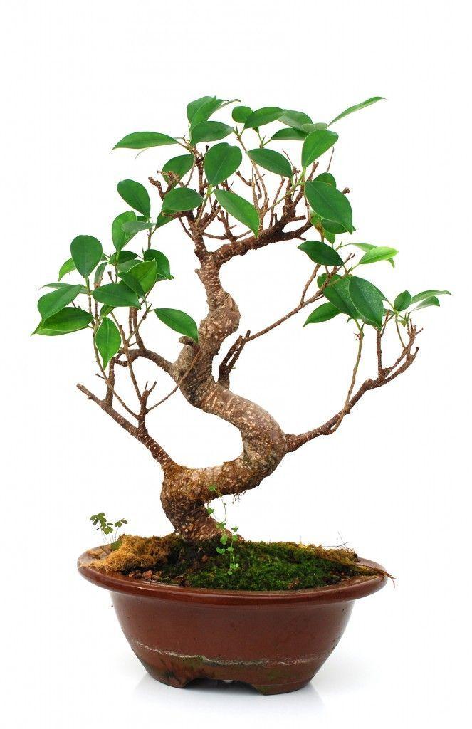 Ficus Bonsai Bonsai Trees : More At FOSTERGINGER @ Pinterest ⚫️