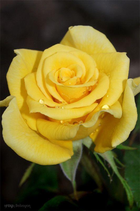 Flowers Garden Rosa amarilla