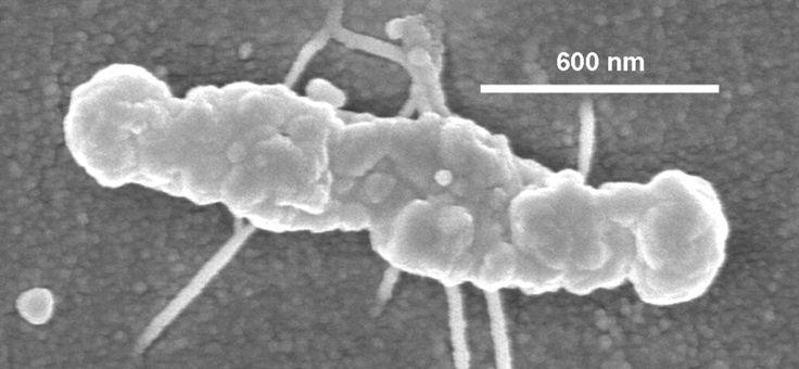 Saccharophagus degradans  [000.008.561]