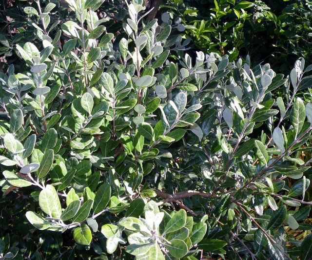 pineapple guava; Feijoa sellowiana; moderately salt tolerant; 6-10'x5-8'; sun, well-drained but extremely draught tolerant once est.