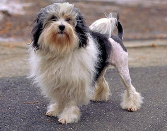 Бишон лион фото породы собак. » Породы собак