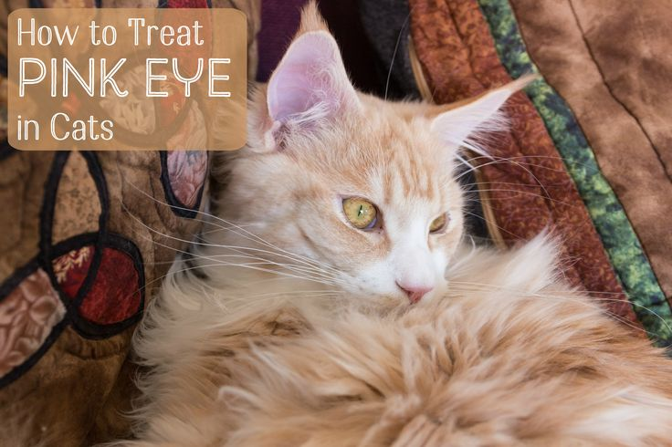 good info on cat eye problems--video on how to do eyedrops is really good!!!  Treating Conjunctivitis in Cats
