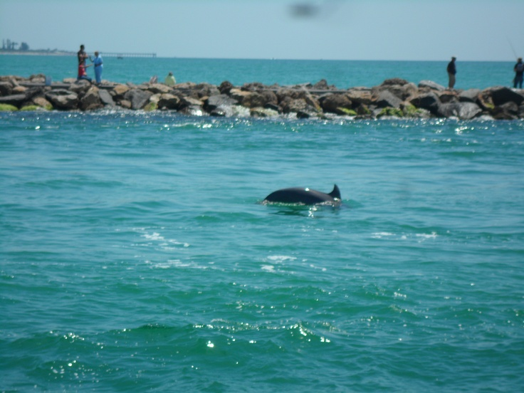 Dolphins Swimming In The North Jetty Off Of Nokomis Beach Florida Photo Credit To