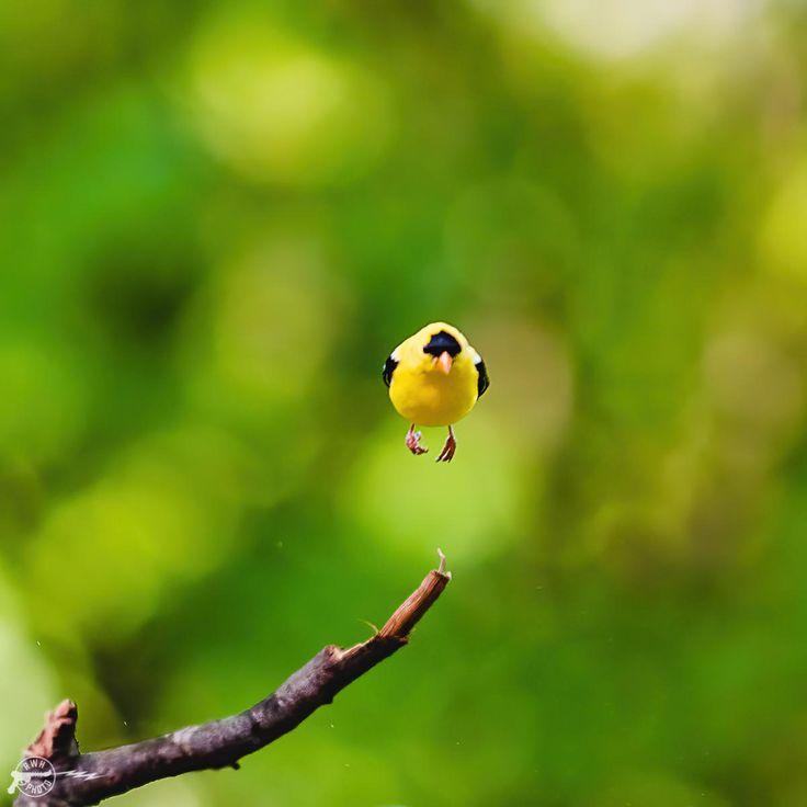 Levitating Wingless American Goldfinch Richmond Va Birds Goldfinch Richmond Richmond Va