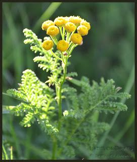 Prairie Wildflowers: Tansy: Tall Golden Button Flowers, Bumblebees