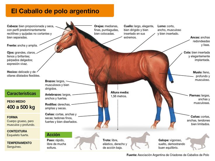 Las características del Caballo de Polo Argentino son específicas y cuidadosamente distinguibles, dado que esta raza nace de caballos pura sangre de carrera cruzados con rústicos caballos de campo.