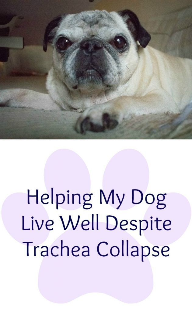 Trachea Collapse In Pugs Trachea Dog Help Pugs