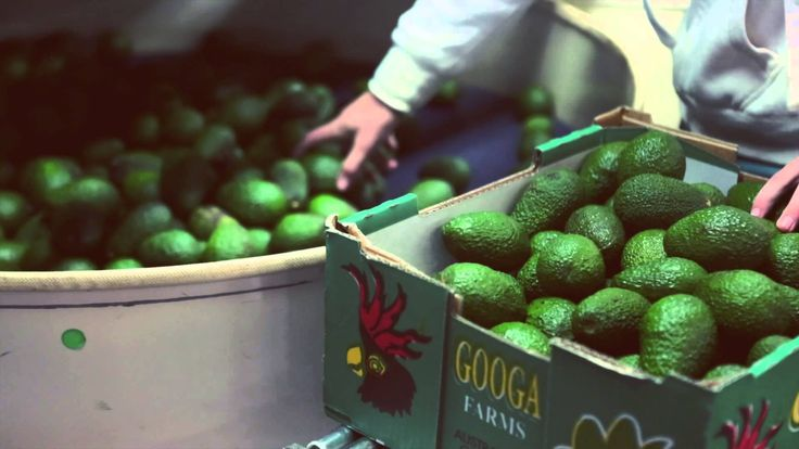 GOOGA FARMS - Know your farmer, know your food! Avocados are nutritional powerhouses. Loaded with good fats, fibre, Vitamin E, potassium and antioxidants, these fruits boast an abundance of health benefits. Want to know the best news? The Queensland grown organic avocados have finally arrived! This season has yielded an absolute bumper crop, with an oversupply (can you ever have too many!?) of delicious, creamy, locally grown Hass avocados that are ripe and ready to eat.