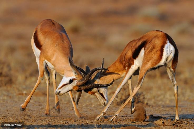 20 best images about Springbok on Pinterest | Namib desert ...
