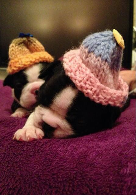 Little Cuties getting Ready for the Cold ahead! - 3 Weeks Old Boston Terrier Sisters from Shrewsbury, England! ► http://www.bterrier.com/?p=18054 - https://www.facebook.com/bterrierdogs