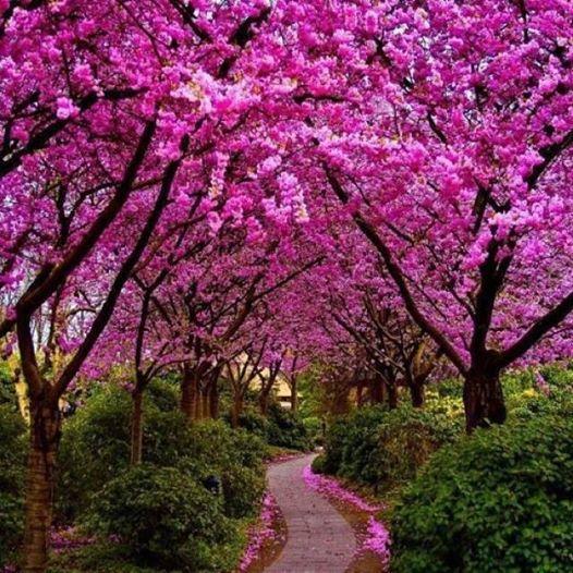 Lapachos en flor...