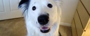 Border Collie is the most amazing helper around the house (VIDEO) » DogHeirs