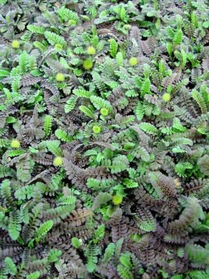 Leptinella squalida (Brass Buttons)