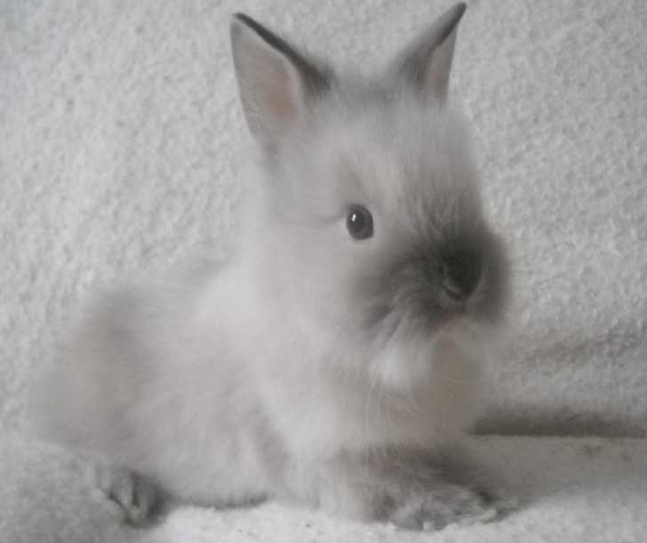 Baby Dwarf Lionhead Bunnies | baby lionhead rabbit for sale this little boy is part of baby bunnies ...