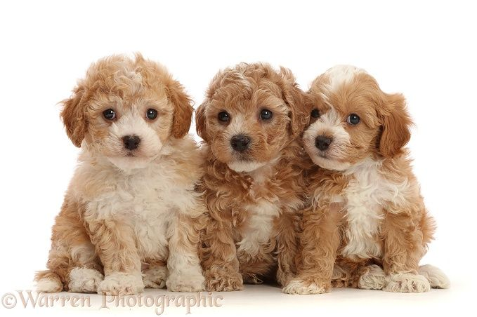 Photograph Of Three Cavapoochon Puppies 6 Weeks Old Rights