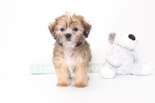 Shorkie Tzu puppy for sale in NAPLES, FL. ADN-46135 on PuppyFinder.com Gender: Male. Age: 9 Weeks Old