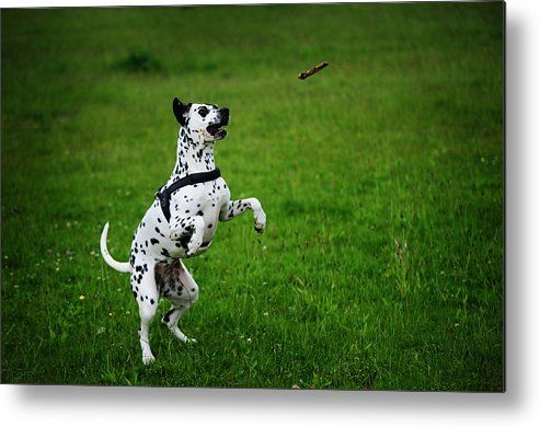 Gotta It. Kokkie. Dalmation Dog Metal Print by Jenny Rainbow.  All metal prints are professionally printed, packaged, and shipped within 3 - 4 business days and delivered ready-to-hang on your wall. Choose from multiple sizes and mounting options.