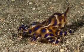 Image result for blue ringed octopus pictures