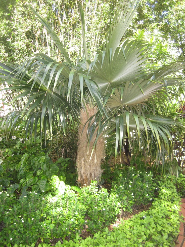 Coccothrinax crinita, Old Man Palm. Unusual specimen, very slow growing, but a great conversation piece with its thatched beard