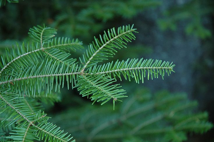 Click to view full-size photo of Balsam Fir (Abies balsamea) at Connon Nurseries CBV