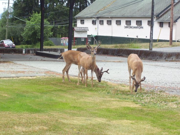 Port Alberni, on Vancouver Island; the deer are everywhere.