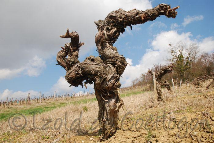 photo de cep de vigne